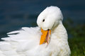 White pekin duck portrait of anas platyrhynchos Stock Photography