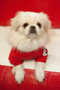 White pekinese dog Royalty Free Stock Photos