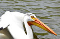 White pelican a close up of a floating on a lake Royalty Free Stock Photography