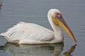 White pelican fishing in the river estuary Stock Images
