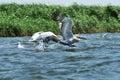 White pelican in flight danube delta romania Stock Images