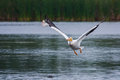 White pelican in flight pelecanus erythrorhynchos flying above a lake Stock Photos