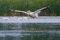 White pelican in flight pelecanus erythrorhynchos flying above a lake Stock Image