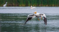 White pelican in flight pelecanus erythrorhynchos flying above a lake Stock Photography