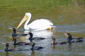 White pelican with friends on pond Stock Photography