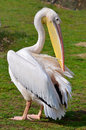 White pelican in grass Royalty Free Stock Photography