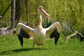 White pelican on grass pelecanus onocrotalus standing with outspread wings Stock Image