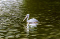 The white pelican image of a pelecanus onocrotalus Royalty Free Stock Photos