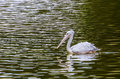 The white pelican image of a pelecanus onocrotalus Royalty Free Stock Images