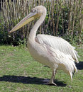 White pelican latin name pelicanus onocrotalus Royalty Free Stock Photography