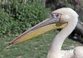 White pelican latin name pelicanus onocrotalus Stock Photos