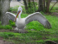 White pelican with outstretched wings Royalty Free Stock Photos