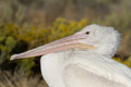 White pelican pelecanus erythrorhynchos closeup profile portrait of a Stock Photo