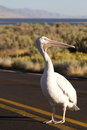 White pelican pelecanus erythrorhynchos in the middle of a road on antelope island with great salt lake in background Royalty Free Stock Images
