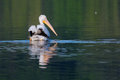 White pelican pelecanus erythrorhynchos swimming in a lake Royalty Free Stock Photos