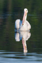 White pelican pelecanus erythrorhynchos swimming in a lake Stock Photography