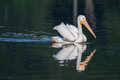 White pelican pelecanus erythrorhynchos swimming in a lake Stock Photos