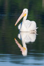 White pelican pelecanus erythrorhynchos swimming in a lake Royalty Free Stock Image