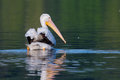 White pelican pelecanus erythrorhynchos swimming in a lake Stock Image