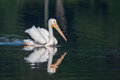 White pelican pelecanus erythrorhynchos swimming in a lake Stock Images