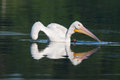 White pelican pelecanus erythrorhynchos swimming in a lake Royalty Free Stock Photo