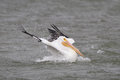 White Pelican Taking a Bath - Corpus Christi, Texas Royalty Free Stock Photo