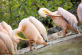 White pelican pelecanus onocrotalus cleaning feathers with beaks Royalty Free Stock Photos