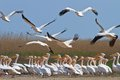 White pelican pelecanus onocrotalus pelicans in the danube delta romania Royalty Free Stock Photography
