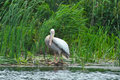 White pelican pelecanus onocrotalus standing in front of sedge Stock Images
