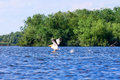 White Pelican (Pelecanus onocrotalus) taking off Royalty Free Stock Photo