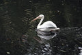 White pelican at pond zoo Royalty Free Stock Photo