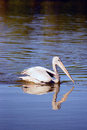 White pelican a single swimming isolated on water Royalty Free Stock Photos