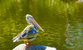 White pelican a sits on a rock in a lagoon Stock Photography