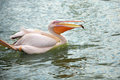 White pelican wading in a pond Royalty Free Stock Image