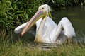 White pelican on the water closeup of pelecanus onocrotalus Royalty Free Stock Images