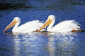 White Pelicans Royalty Free Stock Images
