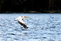 White pelicans above water showing its wingspan the great pelican is huge bird with ranging from to feet Stock Photos