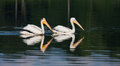 White pelicans pelecanus erythrorhynchos two swimming in a lake Stock Photos