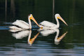 White pelicans pelecanus erythrorhynchos two swimming in a lake Stock Photography