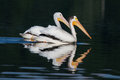 White pelicans pelecanus erythrorhynchos two swimming in a lake Royalty Free Stock Photos