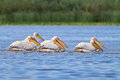 White pelicans (pelecanus onocrotalus) Royalty Free Stock Photography