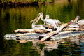 White pelicans several afloat on a raft Royalty Free Stock Photography