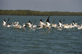White pelicans taking flight over ocean Stock Photography