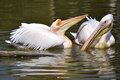 White pelicans on the water closeup couple of pelecanus onocrotalus Royalty Free Stock Images