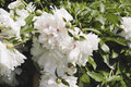 White peonies group of beautiful outdoor shot Stock Photography