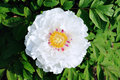 White peony Royalty Free Stock Images
