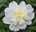 White Peony Flower Royalty Free Stock Photo