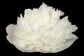 White Peony Flower On Black Ba...