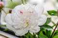 White peony flower with buds, green leafs, genus Paeonia,