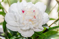 White peony flower with buds, green leafs, genus Paeonia
